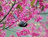 武陵花鳥:2008_02_01武陵0115.jpg