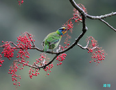 五色迎春:五色鳥0017.jpg