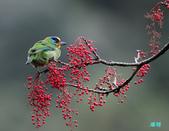 五色迎春:五色鳥0019.jpg