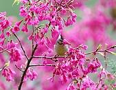 武陵花鳥:2008_02_01武陵0161.jpg