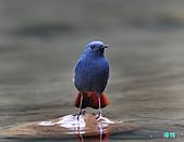 平廣鉛色水鶇:101230平廣鉛色水鶇_054-1.jpg