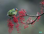 五色迎春:五色鳥0020.jpg