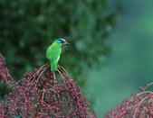 裡白楤木上的五色鳥:五色鳥_001.jpg