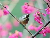 八仙山飛羽迎新春:090131八仙山_298.jpg