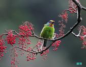 五色迎春:五色鳥0023.jpg