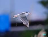 宜蘭紅嘴鷗:111215空中撈魚紅嘴鷗_012-1.jpg