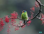 五色迎春:五色鳥0027.jpg