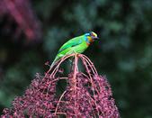 裡白楤木上的五色鳥:五色鳥_002.jpg