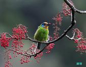 五色迎春:五色鳥0029.jpg