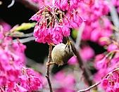 武陵花鳥:2008_02_01武陵0182.jpg