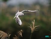 宜蘭紅嘴鷗:111215空中撈魚紅嘴鷗_047-1.jpg