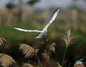 宜蘭紅嘴鷗:111215空中撈魚紅嘴鷗_048-1.jpg