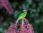 裡白楤木上的五色鳥:五色鳥_003.jpg