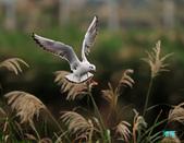 宜蘭紅嘴鷗:111215空中撈魚紅嘴鷗_049-1.jpg