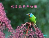 裡白楤木上的五色鳥:五色鳥_004.jpg