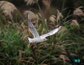 宜蘭紅嘴鷗:111215空中撈魚紅嘴鷗_051-1.jpg