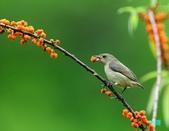 小小鳥綠啄花:110418平廣綠啄花_064.jpg