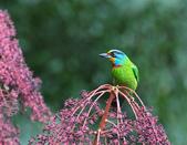 裡白楤木上的五色鳥:五色鳥_005.jpg