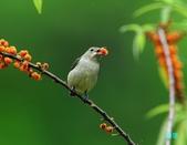 小小鳥綠啄花:110418平廣綠啄花_071.jpg