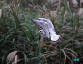 宜蘭紅嘴鷗:111215空中撈魚紅嘴鷗_057-1.jpg