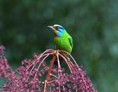 裡白楤木上的五色鳥:五色鳥_006.jpg