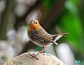 2010野柳秋過境之日本歌鴝母鳥:101128野柳日本歌鴝_184.jpg