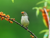 小小鳥綠啄花:110418平廣綠啄花_080.jpg