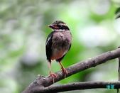 小八的紀錄:110616三富八色鳥_033-1.jpg