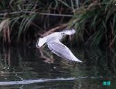 宜蘭紅嘴鷗:111215空中撈魚紅嘴鷗_062-1.jpg