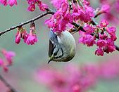 八仙山飛羽迎新春:090131八仙山_329.jpg