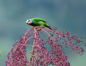 裡白楤木上的五色鳥:五色鳥_007.jpg