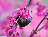 八仙山飛羽迎新春:090131八仙山_172.jpg