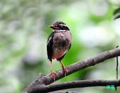 小八的紀錄:110616三富八色鳥_033-2.jpg