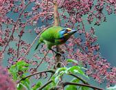 裡白楤木上的五色鳥:五色鳥_008.jpg