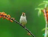 小小鳥綠啄花:110418平廣綠啄花_089-1.jpg