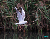 宜蘭紅嘴鷗:111215空中撈魚紅嘴鷗_063-1.jpg