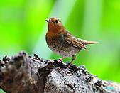 2010野柳秋過境之日本歌鴝母鳥:101128野柳日本歌鴝_013.jpg