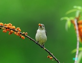 小小鳥綠啄花:110418平廣綠啄花_090-1.jpg