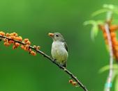 小小鳥綠啄花:110418平廣綠啄花_091-1.jpg