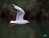 宜蘭紅嘴鷗:111215空中撈魚紅嘴鷗_066-1.jpg