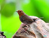 2010野柳秋過境之日本歌鴝母鳥:101128野柳日本歌鴝_020.jpg