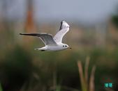宜蘭紅嘴鷗:111215空中撈魚紅嘴鷗_070-1.jpg