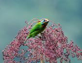 裡白楤木上的五色鳥:五色鳥_009.jpg