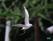 宜蘭紅嘴鷗:111215空中撈魚紅嘴鷗_079-1.jpg