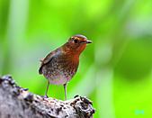 2010野柳秋過境之日本歌鴝母鳥:101128野柳日本歌鴝_022.jpg