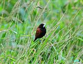 新豐黑頭文鳥:1004015新豐黑頭文鳥_016.jpg