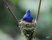三富黑枕藍鶲育雛:110616三富黑枕藍鶲_055.jpg