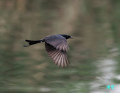 宜蘭紅嘴鷗:111215空中撈魚紅嘴鷗_081-1.jpg
