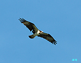 廣興的魚鷹:101110魚鷹_0015.jpg