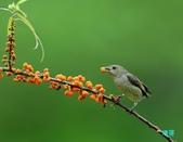 小小鳥綠啄花:110418平廣綠啄花_106-1.jpg